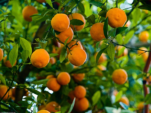 fruit-trees-in-kenya