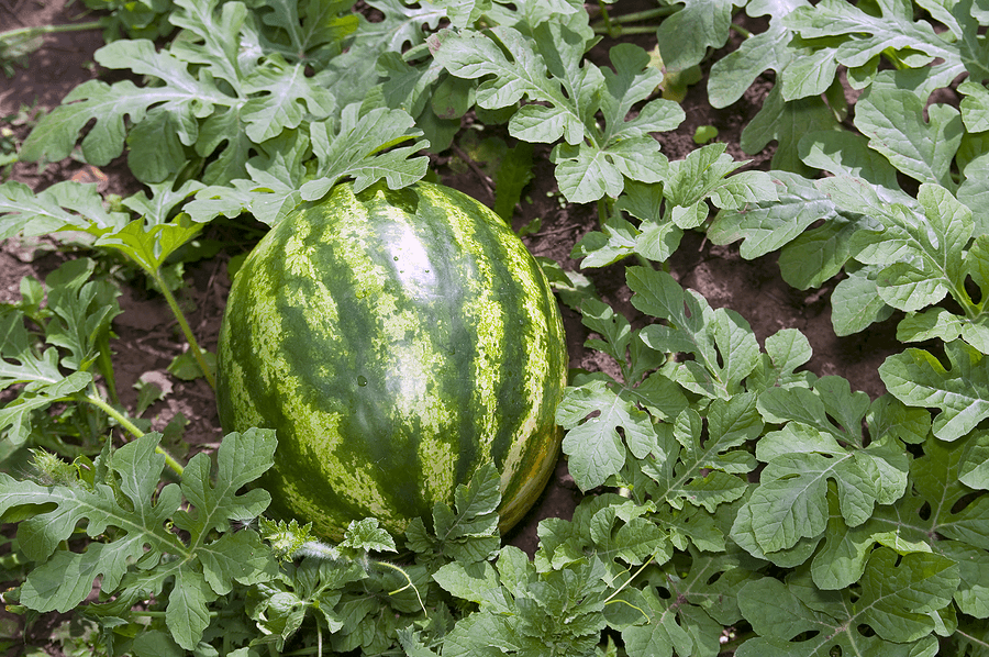 Photo of Watermelon Farming in Kenya