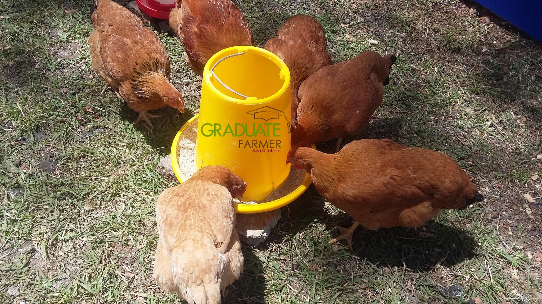 chicken faring in kenya