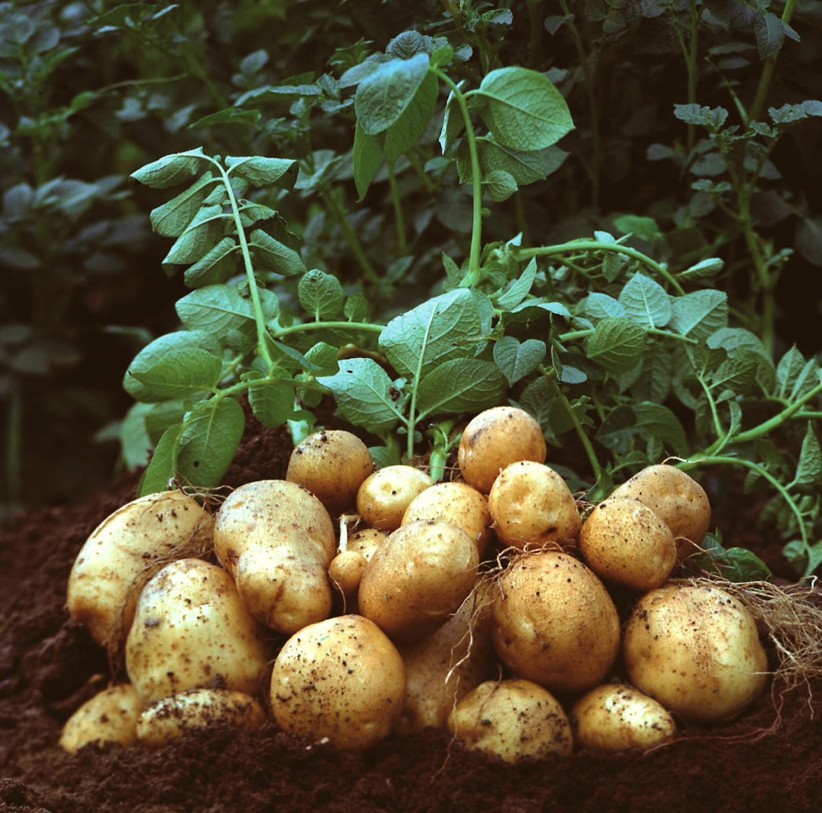 Photo of How to grow Potatoes