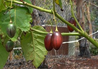 Photo of Farmer opts for Tree Tomato Farming over Tea