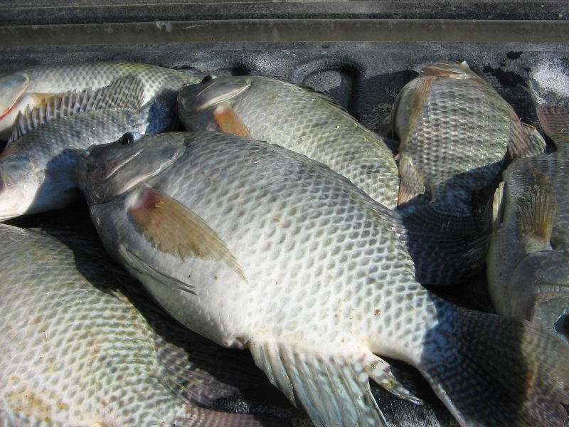 male tilapia fish achieves the market size faster than the