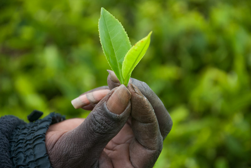 Photo of Kenya's Tea Industry Compromised By Labour Cost Infalation
