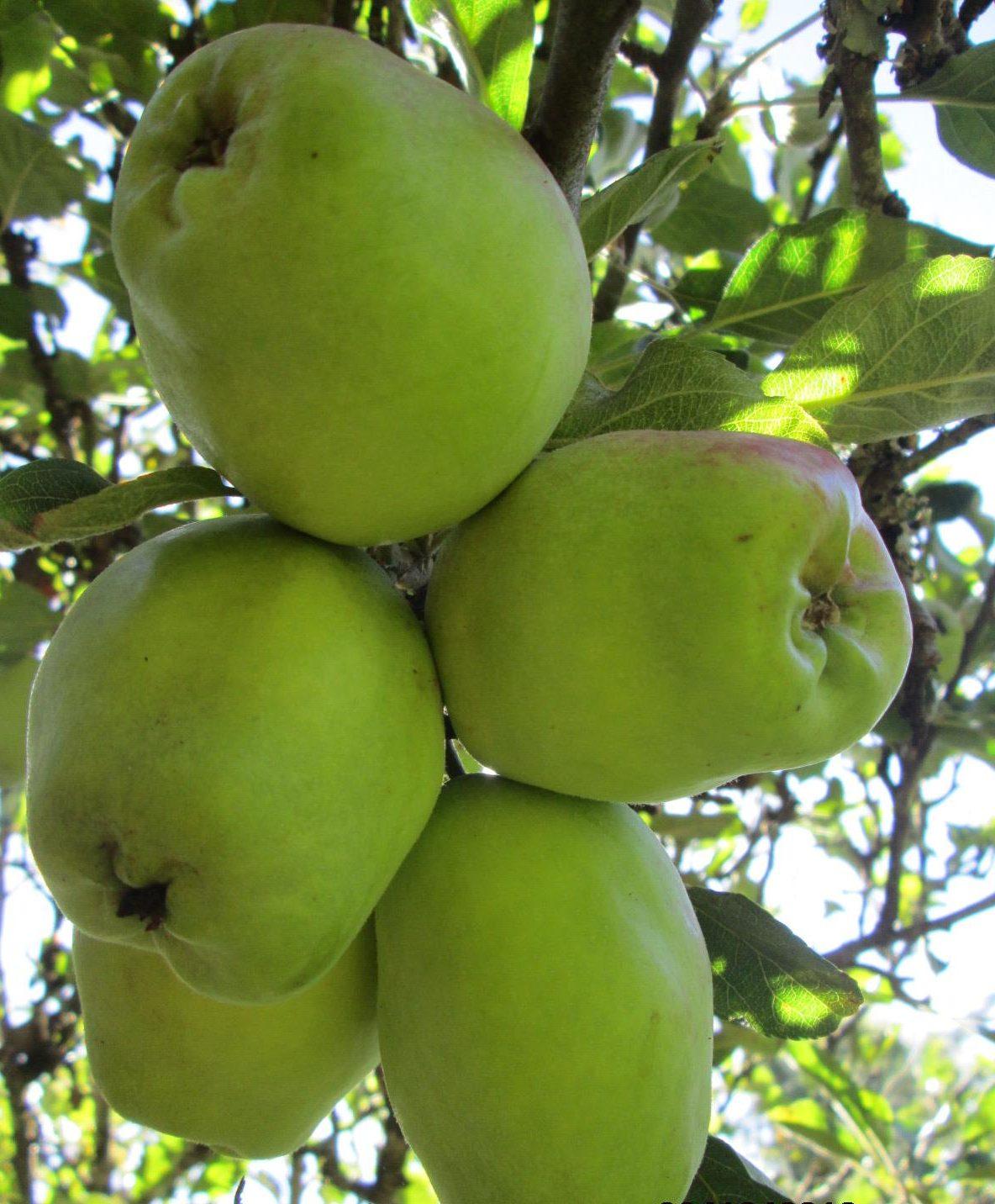 wambugu-apples-1