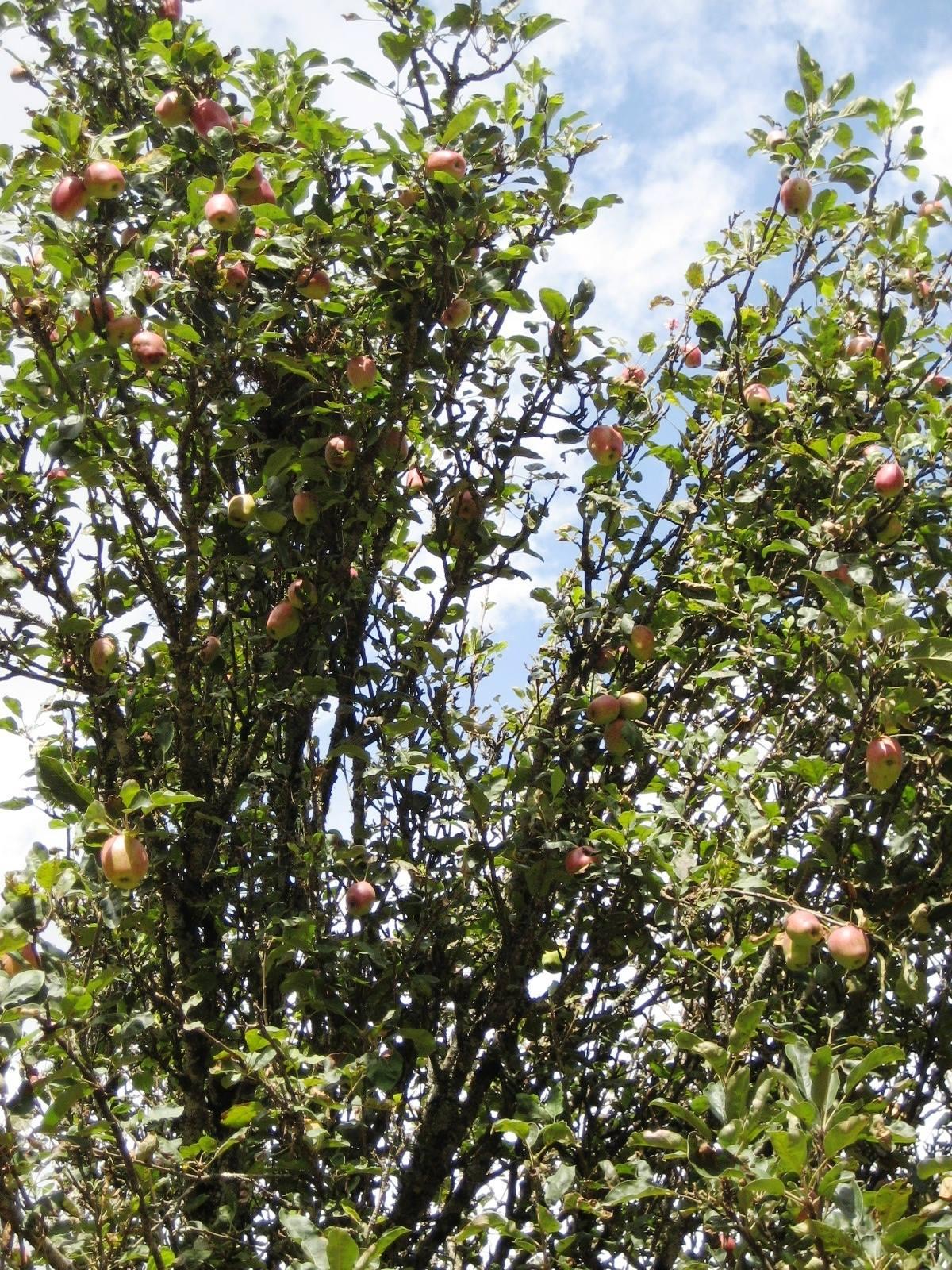 wambugu-apples-3