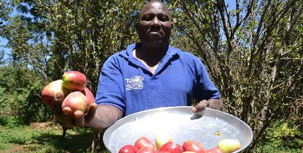 Growing Apples in Kenya: The Story of Wambugu