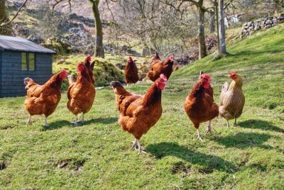 Photo of Chicken production systems