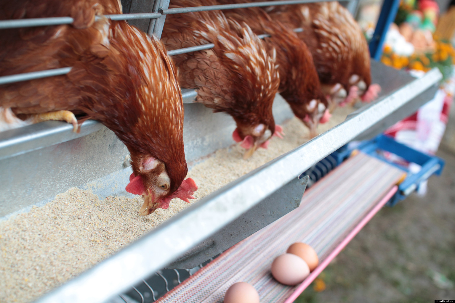 Photo of Basic Chicken Care and Requirements