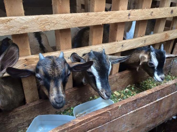 Photo of Rearing Dairy Goats in Kenya