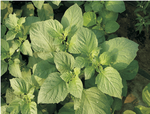 Photo of How to grow Managu