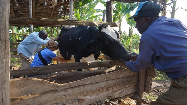 Photo of Kenya: New Pregnancy Kit For Dairy Cows