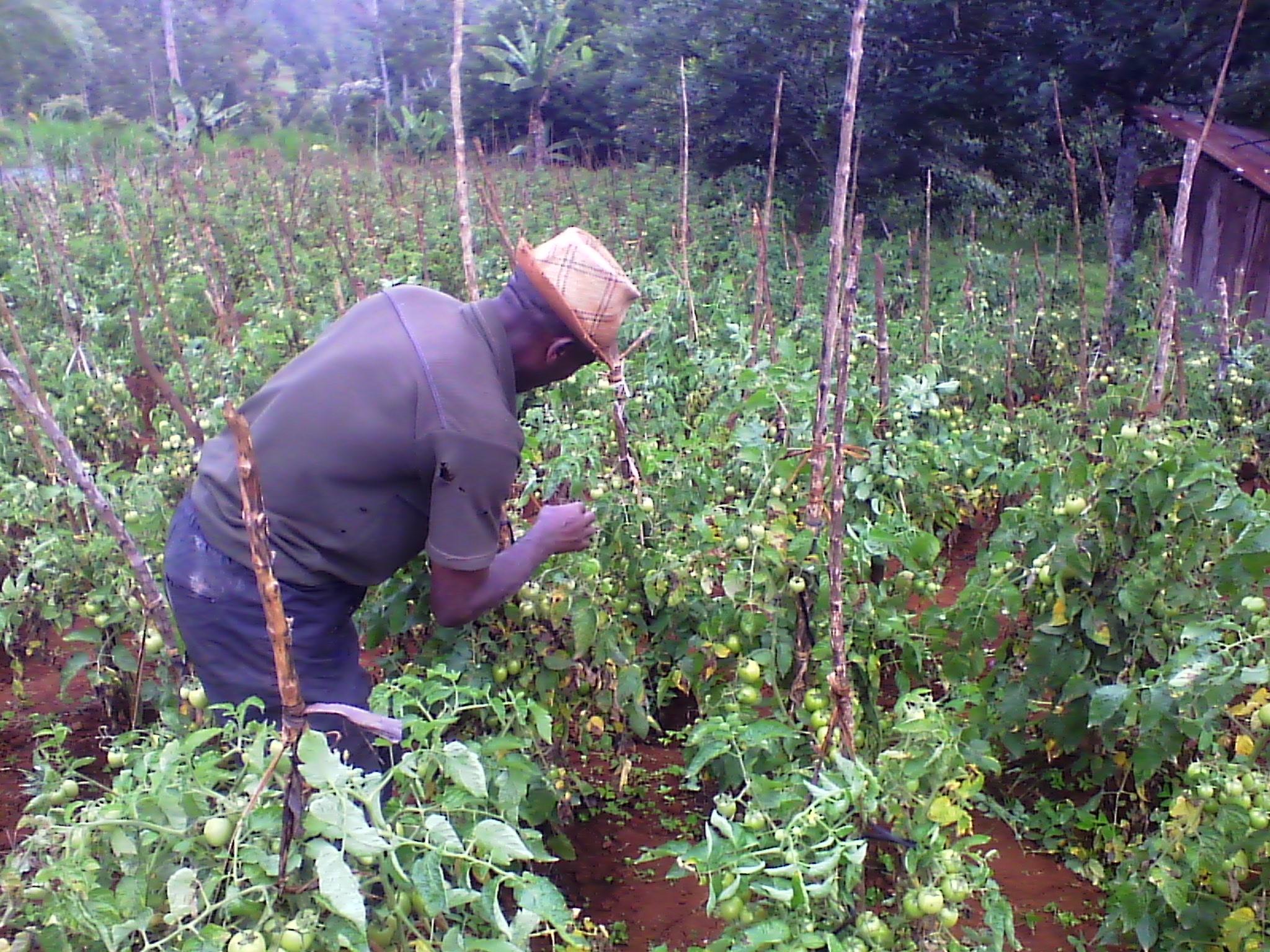 Photo of Tomato Farmers Are The Future Millionares
