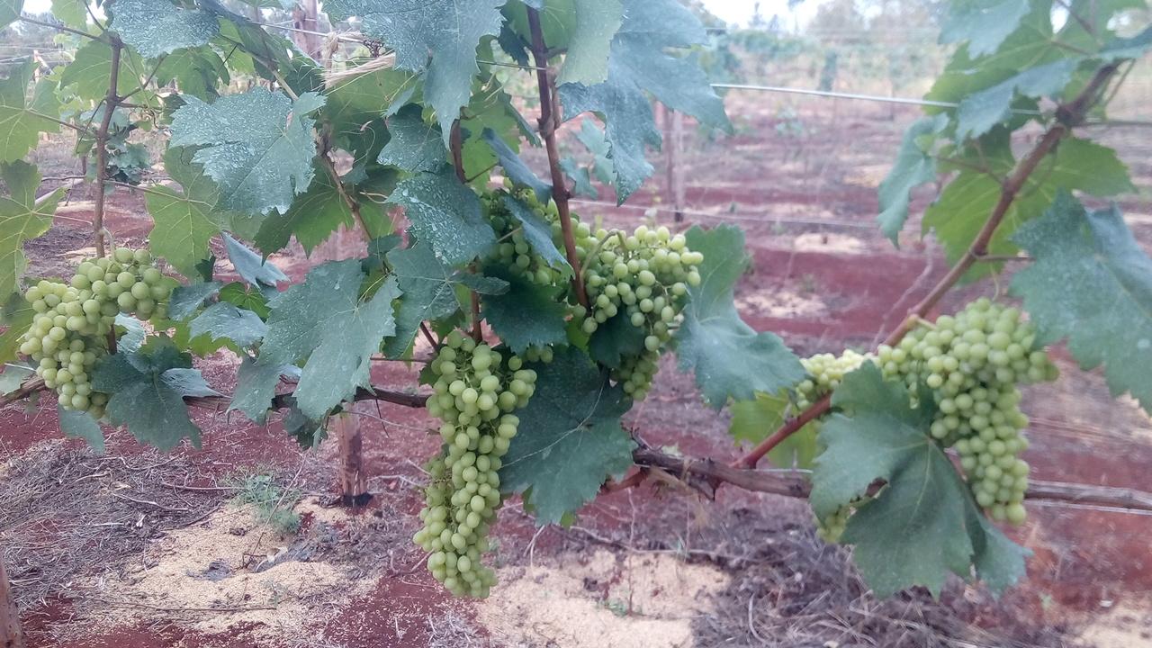 Beginner Farmer: Growing Grapes in Kenya