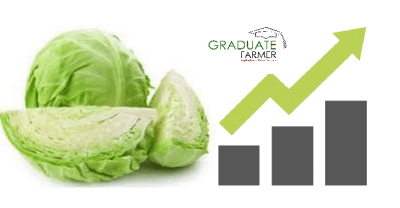 Photo of Cabbage Farming Profit Per Acre