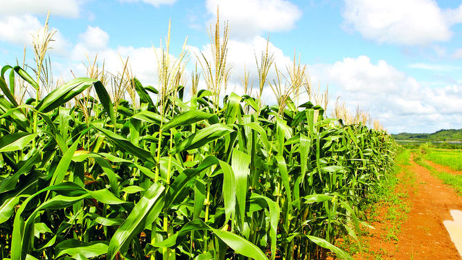 Maize Scandal: The Pain of a Kenyan Farmer