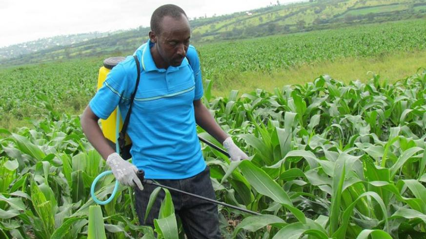 Photo of KALRO: Chemicals to curb Fall Army Worms