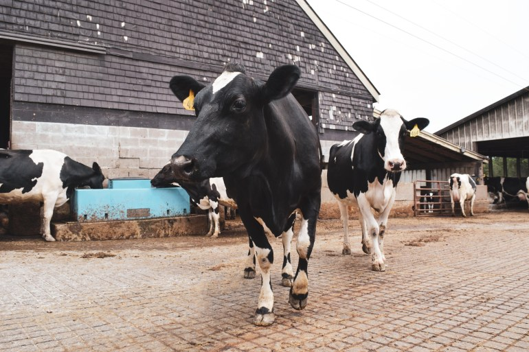Photo of How to increase your cow milk production