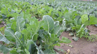 Photo of Why you should opt to grow Sukuma Wiki
