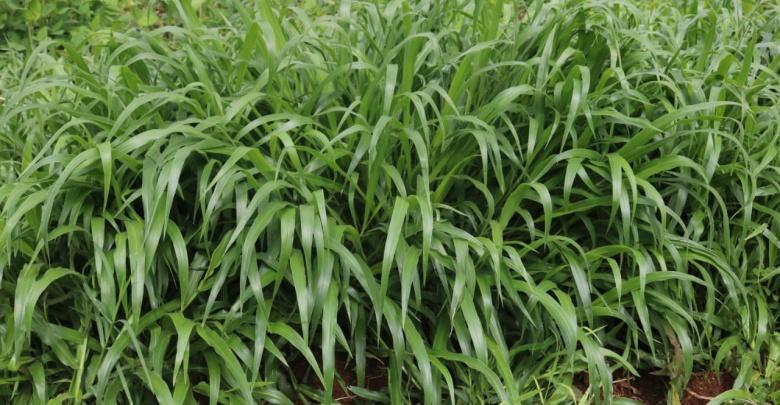 brachiaria grass kenya