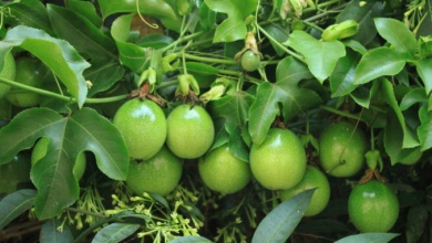 Photo of The wonders of Passion Fruit farming in Kenya