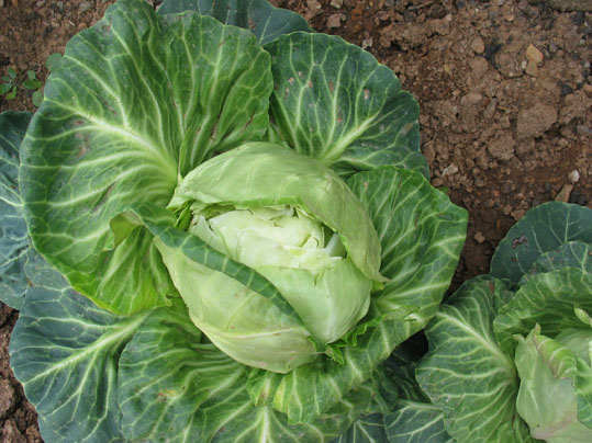 cracking cabbage heads