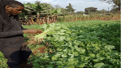Photo of Kabete Organics: How we do organic farming