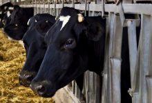 dairy farming Kenya