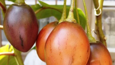 Photo of Tree Tomatoes are easy to grow and in great demand