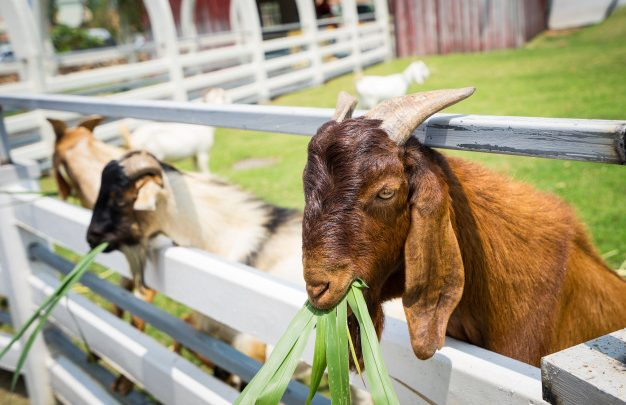 goat farming for meat