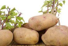 potato seeds growing