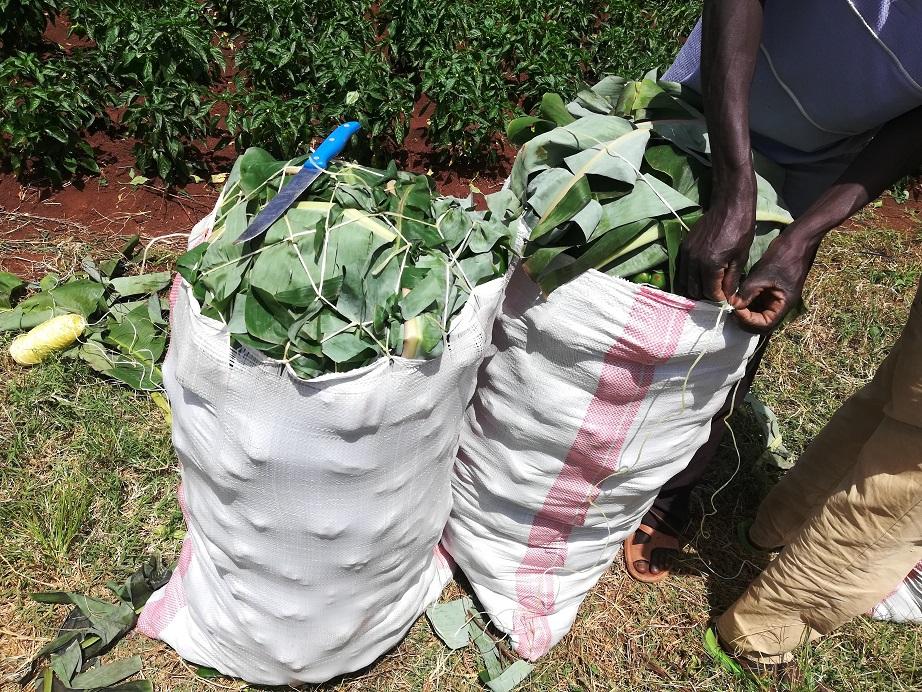 capsicum 50kg bags