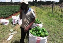 Photo of Ken Lagat: This guy will inspire you to grow Capsicums [PHOTOS]