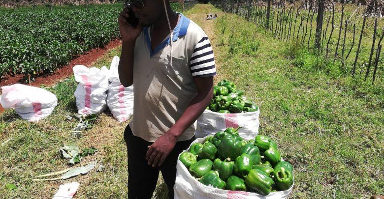capsicum farming in Eldoret