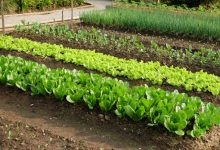 vegetable farming