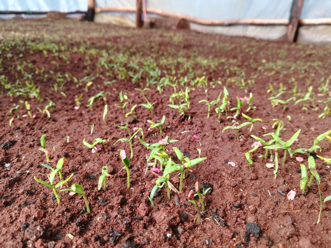capsicum germinating